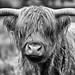 Highland Cattle by crafty1tutu (Ann)