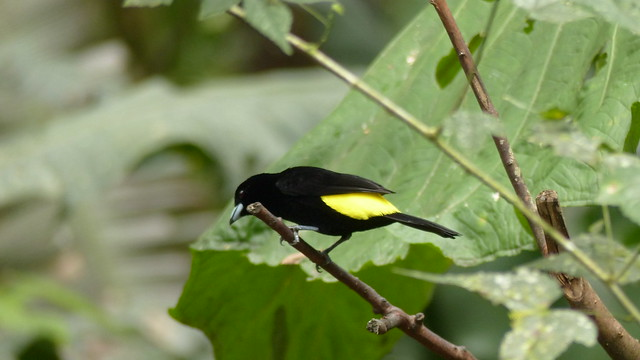 Yellow-rumped tanager - Ramphocelus icteronatus