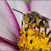 Coelioxys Sharp-tailed Bee by Ed Phillips 01