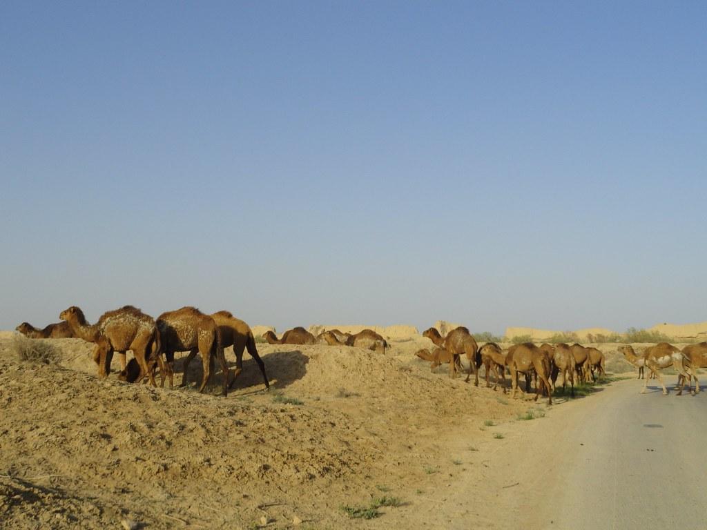 Camells a Merv II (Turkmenistan)