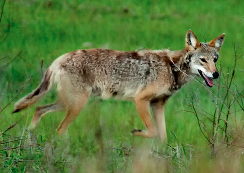 coyote tags: