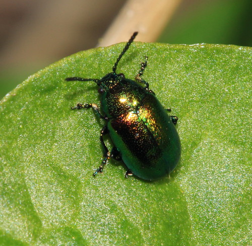 Green Dock Beetle 6524