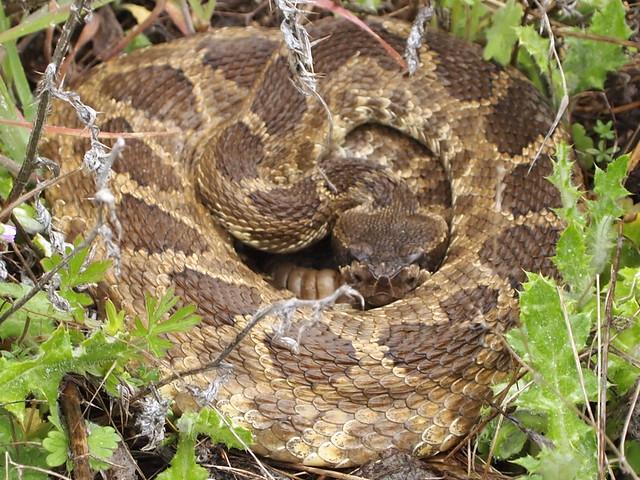 Northern Pacific Rattlesnake