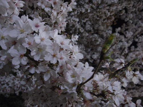 夜桜2012@大中公園(大和高田市)-09
