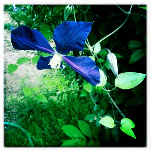 Clematis vine on my arbor