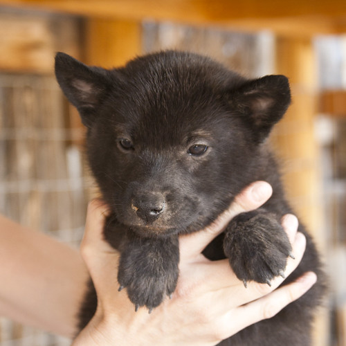 Haru-Third-Litter-Pup4-Female-Day49a
