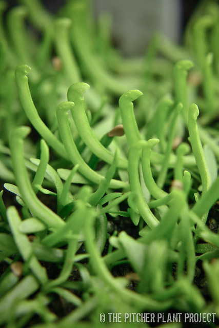 "Sarracenia mitchelliana AF x ""Green Monster"""