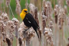 Yellow-headed Blackbird 02