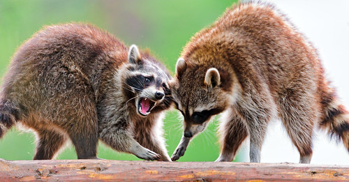 Raccoon argument II