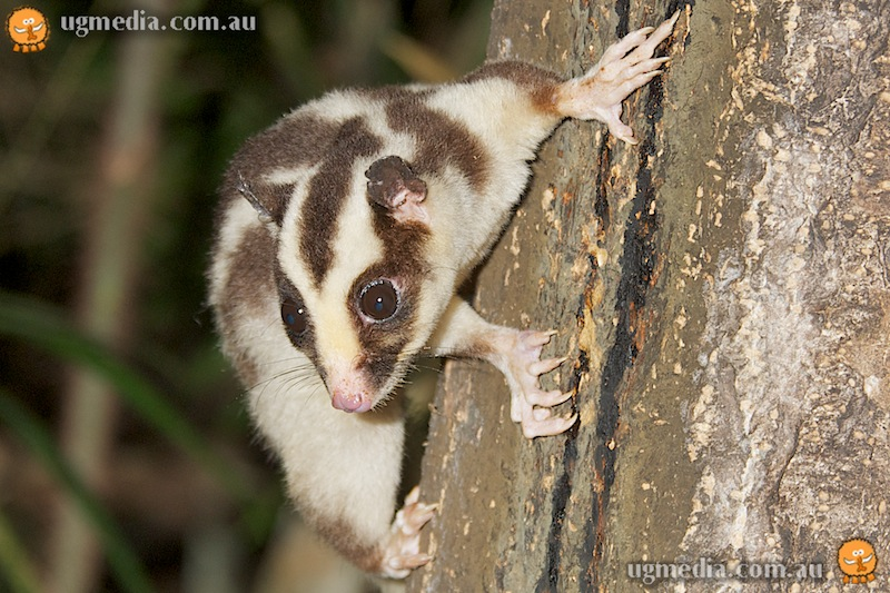 Striped possum (Dactylopsila trivirgata)