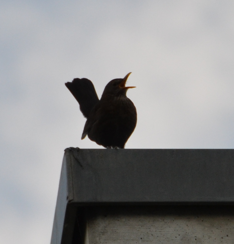 Blackbird singing on a roof