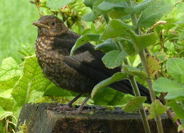 P1010564 - Blackbird Fledgling, Garden