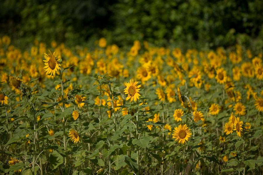 Sunflowers_Jun212012_0008