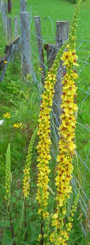 Mullein (Verbascum sp.)