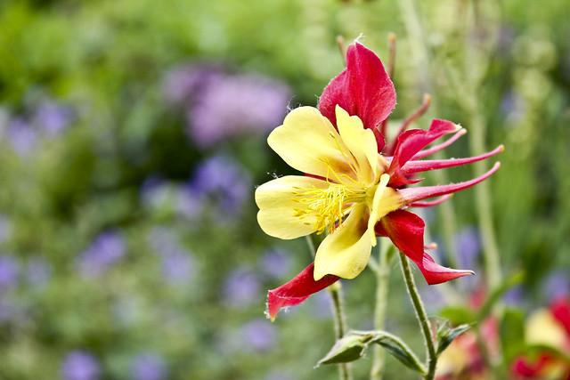 Wild Columbine Flower | Flickr - Photo Sharing!