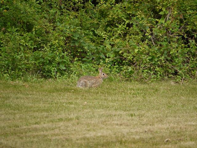 wild rabbit 4