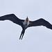 019 Frigatebirds