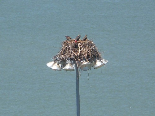 1osprey nest marina chainey richmond