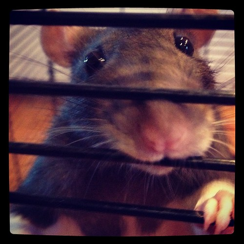 JPAD: 19: animal/pet. Don't get totally grossed out but we have 2 pet rats. They are actually really good pets. They really do get a bad rep!