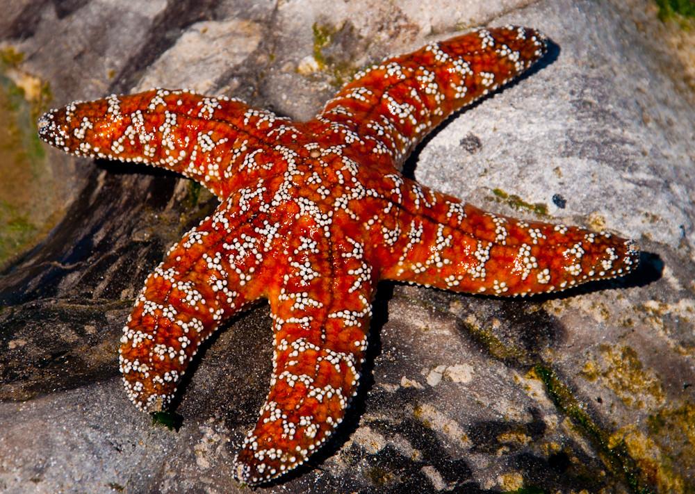 starfish rock photo