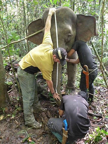 elephant-research-hutan