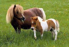 stallion(0.0), animal(1.0), prairie(1.0), mane(1.0), mare(1.0), grass(1.0), colt(1.0), mammal(1.0), foal(1.0), horse(1.0), grazing(1.0), fauna(1.0), meadow(1.0), pasture(1.0), pony(1.0), grassland(1.0),