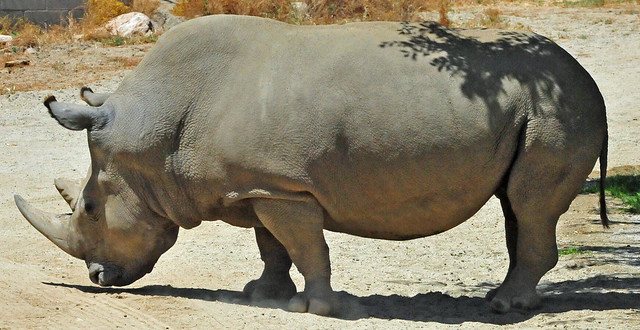 Angalifu the Northern White Rhinoceros male (Ceratotherium simum cottoni)