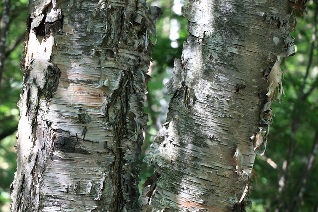 Photo:Japanese White Birch / Betula platyphylla var. japonica / 白樺(シラカンバ) By TANAKA Juuyoh (田中十洋)