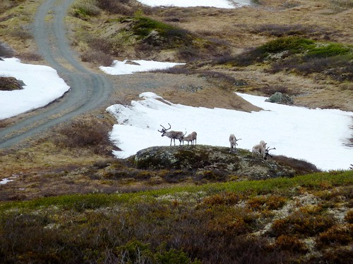 Fjorden (NO) -  Sognefjellet - Rendieren