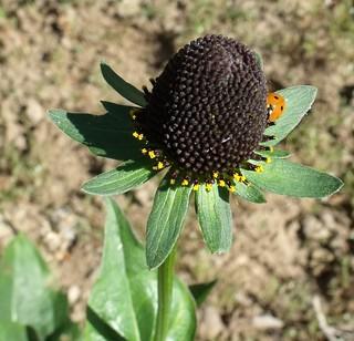 Rudbeckia & Ladybug