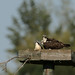 Osprey Mom and the Kids_2353.jpg