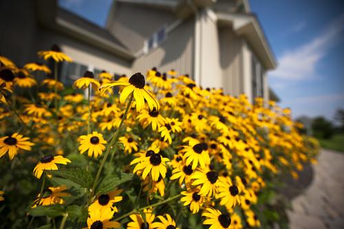flowers nature nikon maryland blackeyedsusan stateflower 14mm marylandstateflower d700 1424mmf28ged