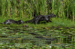 River Otters_4291.jpg by Mully410 * Images