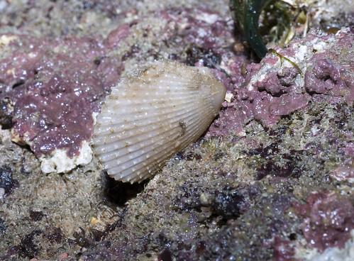 Common file clam (Lima vulgaris)
