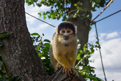 macaque(0.0), wildlife(0.0), animal(1.0), branch(1.0), monkey(1.0), nature(1.0), mammal(1.0), squirrel monkey(1.0), fauna(1.0), new world monkey(1.0), jungle(1.0),