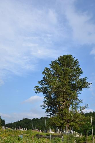 なぜか、実がなりません。平家落人が残した不思議な大木 平家杉 上栗山地区