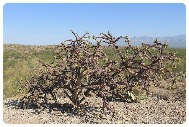 cactus bush arizona