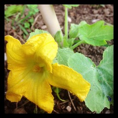 Our first zucchini flower of Spring.