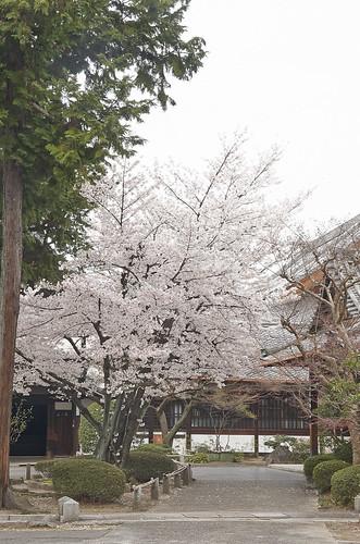 【写真】2014 桜 : 知恩寺/2020-11-13/IMGP5722