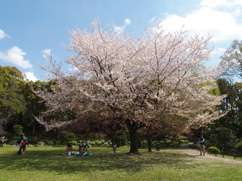 清澄公園 大きな桜の木