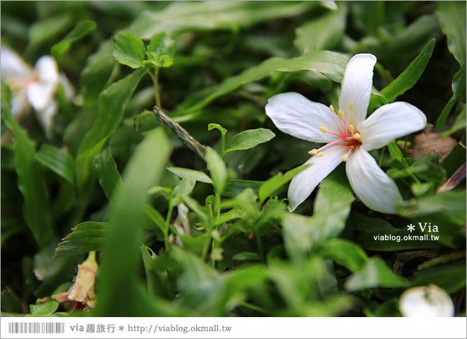 【桐花2014】南投油桐花景點~牛耳石雕藝術渡假村賞桐趣14