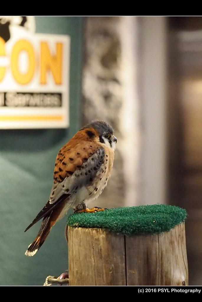 Captive American Kestrel (Falco sparverius)