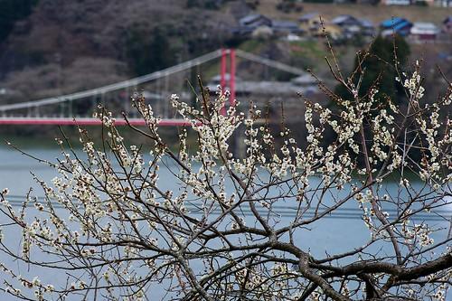 (1)梅と吊り橋
