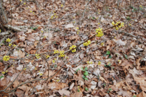 Picture of Spicebush, Lindera benzoin, branch with flowers. It grows along creek beds in Bell Mountain Wilderness in the Ozarks.