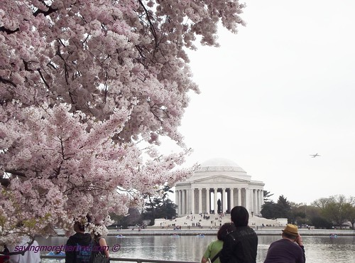 Cherry Blossoms Jefferson memorial