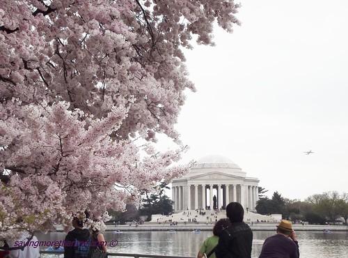 Cherry Blossoms Jefferson memorial