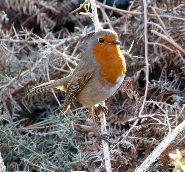 25816 - Robin, Craig Y Bedw
