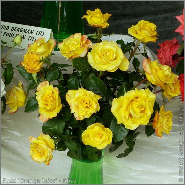 Rosa 'Orange Juice' - Róża