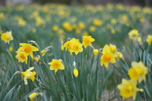 Raw daffodils