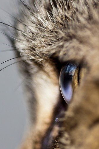 blue pet cats pets brown white black macro reflection eye animal animals yellow cat reflections hair fur mammal grey eyes feline gray felines mammals hairs